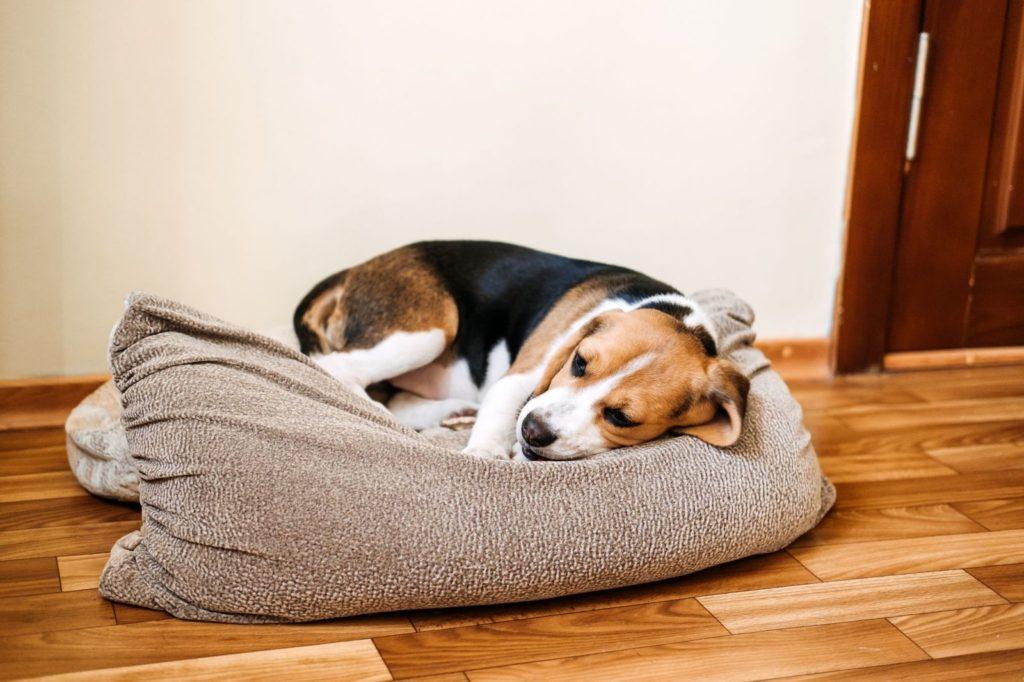 Shock anafilattico nel cane: i sintomi e il trattamento